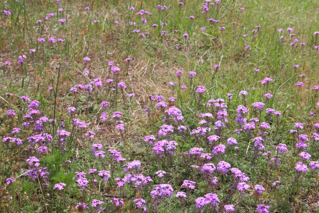 a field of purple wild flowers